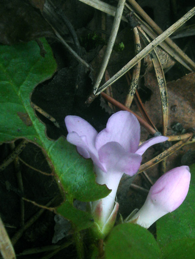 Trailing arbutus (Epigaea repens) : Flower and bud