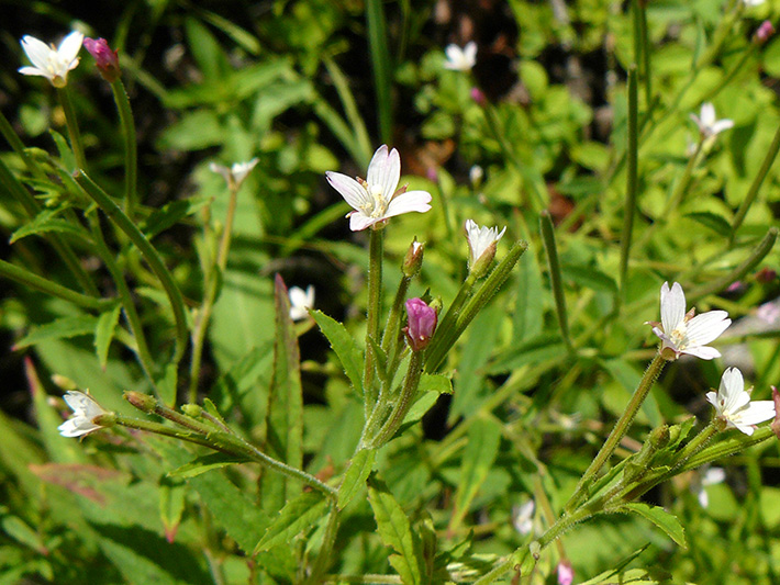 Glandular willowherb (Epilobium ciliatum) : Flowers