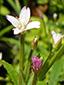 Purple-veined willowherb : 1- Flower