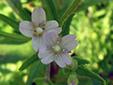 Purple-veined willowherb : 2- Flowers