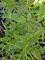 Purple-veined willowherb : 3- Stalk and leaves