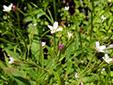 Purple-veined willowherb : 4- Flowers