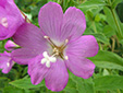 Hairy willowherb : 2- Flower