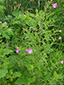 Hairy willowherb : 4- Flowering plant