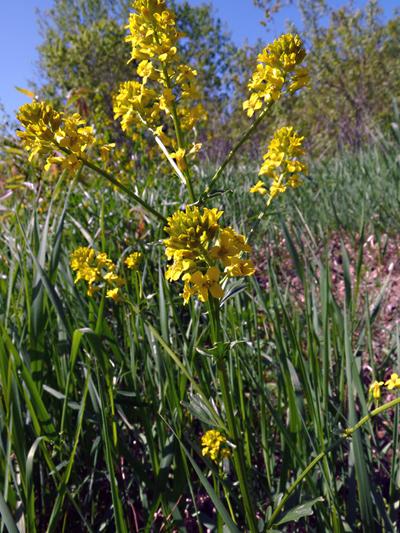 Wormseed wallflower (Erysimum cheiranthoides) : Inflorescence