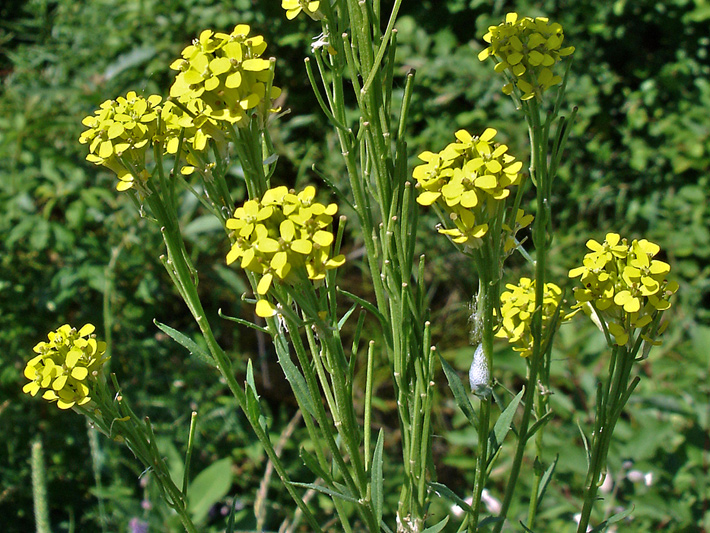 Wormseed wallflower (Erysimum cheiranthoides) : Fruits and flowers