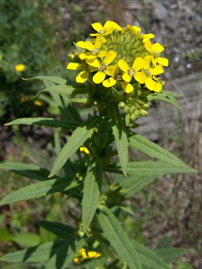 Wormseed wallflower (Erysimum cheiranthoides) : Flowering plant