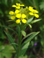 Wormseed wallflower : 1- Flowering plant