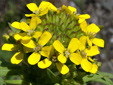 Wormseed wallflower : 2- Inflorescence