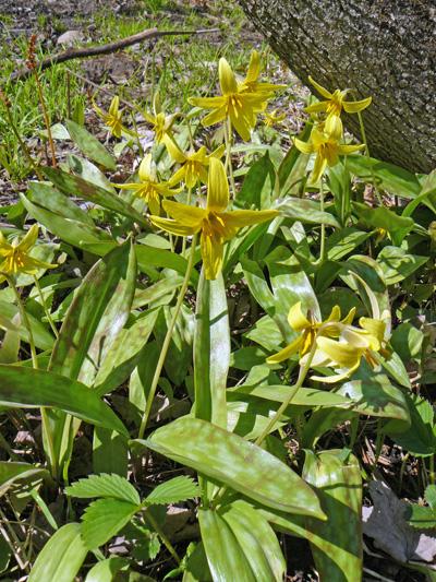 Erythrone d'amerique (Erythronium americanum) Plantes en fleurs