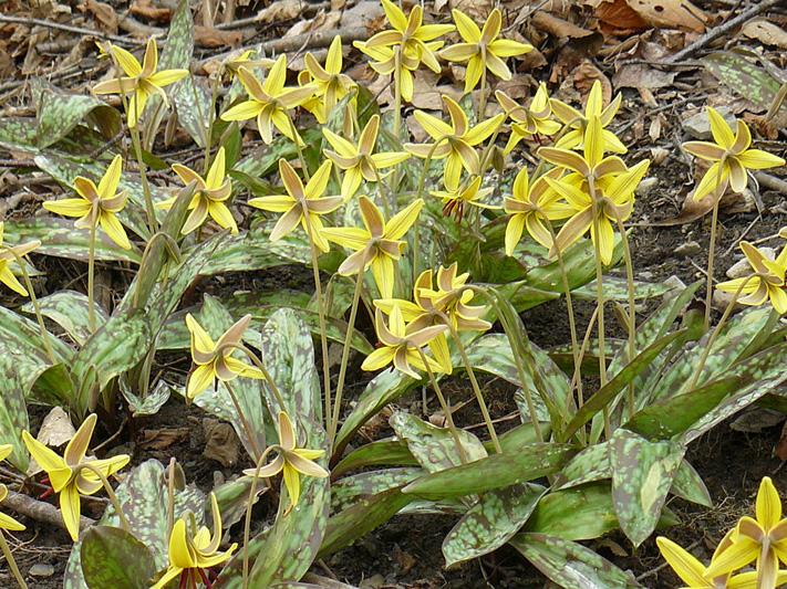 Erythrone d'amerique (Erythronium americanum) Colonie fleur de dos