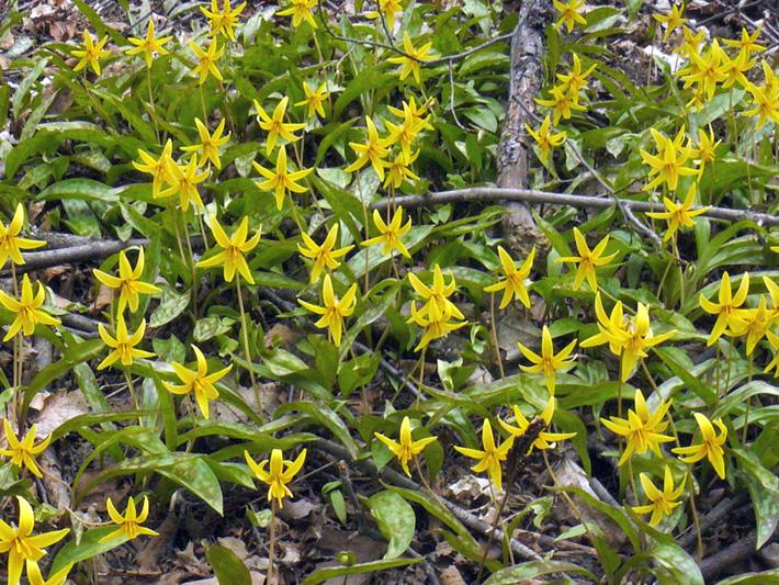 Erythrone d'amerique (Erythronium americanum) Colonie