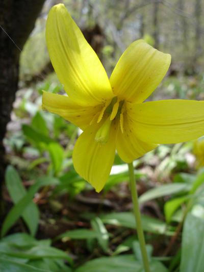 Erythrone d'amerique (Erythronium americanum) Fleur avec étamines jaunes