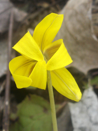 Yellow trout lily (Erythronium americanum) : Full open flower back view