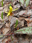Yellow trout lily : 1- Flowering plant