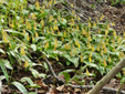Yellow trout lily : 11- Colony flower back