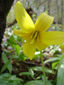 Yellow trout lily : 3- Flower with yellow stamens