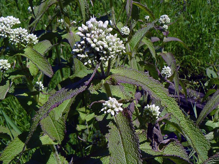 Common boneset (Eupatorium perfoliatum) : Buds