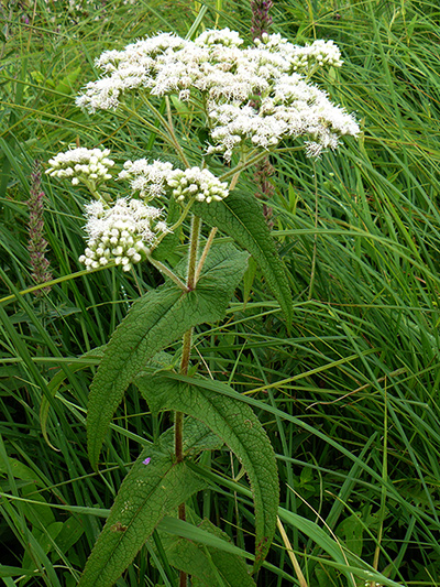 Eupatoire perfoliee (Eupatorium perfoliatum) Fleurs et boutons