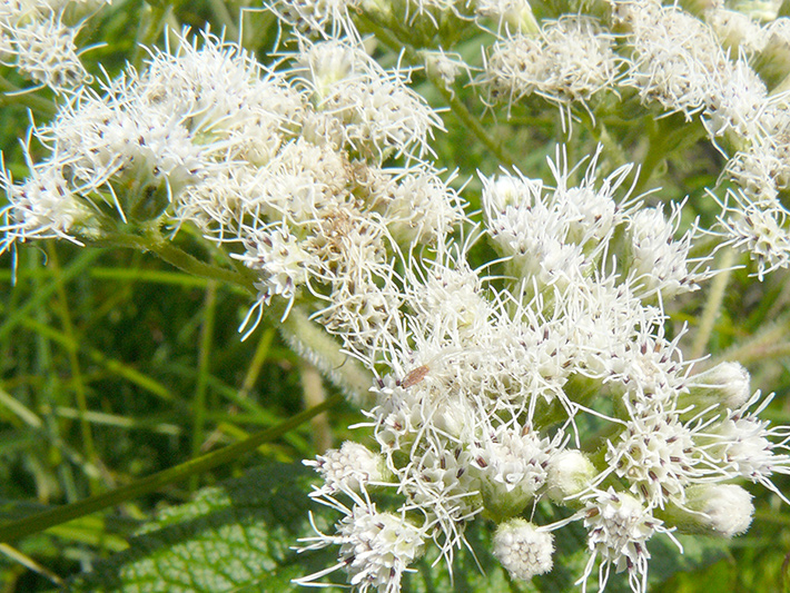 Common boneset (Eupatorium perfoliatum) : Flowers