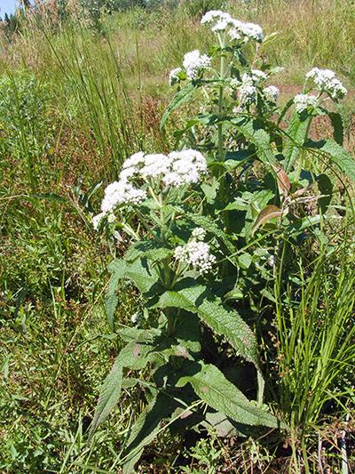 Eupatoire perfoliee (Eupatorium perfoliatum) Plante en fleurs