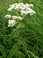 Common boneset : 5- Flowers and buds