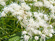 Common boneset : 6- Flowers