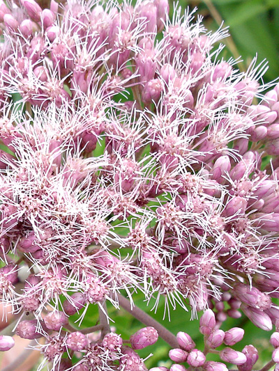 Spotted Joe Pye weed (Eutrochium maculatum) : Flowers