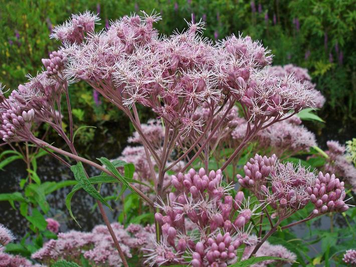 Eupatoire maculee (Eutrochium maculatum) Inflorescence