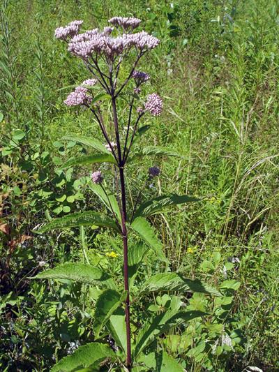 Eupatoire maculee (Eutrochium maculatum) Plante en fleur