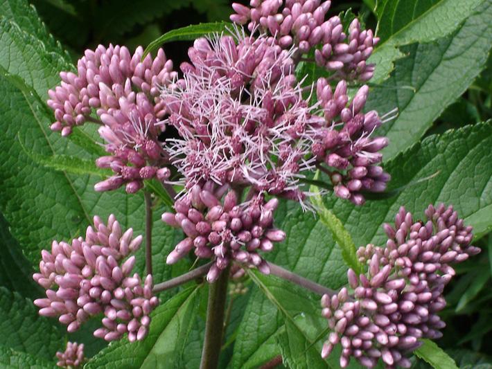 Spotted Joe Pye weed (Eutrochium maculatum) : Inflorescence in buds