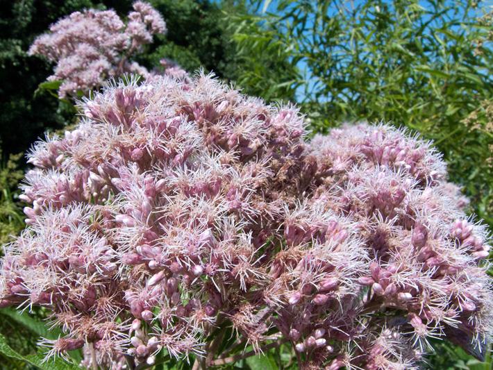Eupatoire maculee (Eutrochium maculatum) Inflorescences