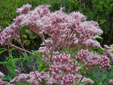 Spotted Joe Pye weed : 2- Inflorescence