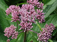 Spotted Joe Pye weed : 4- Inflorescence in buds