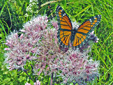 Spotted Joe Pye weed : 6- Inflorescence and Vice-roi butterfly