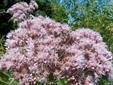 Spotted Joe Pye weed : 9- Inflorescences