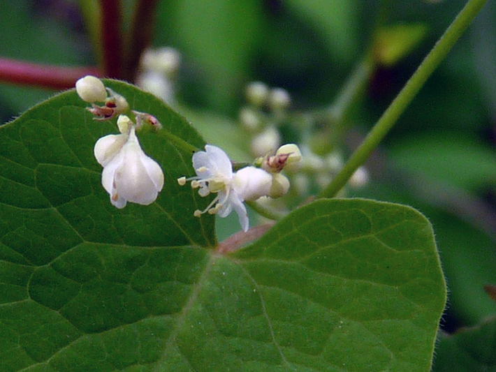 Eurasian black bindweed (Fallopia convolvulus) : Flowers and buds