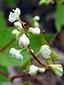 Eurasian black bindweed : 1- Inflorescence
