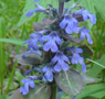 Creeping bugleweed