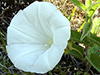 Low false bindweed