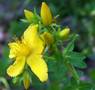 Common St-John's wort