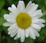 Marguerite blanche