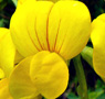 Garden bird's-foot trefoil