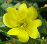 Small-flowered Evening Primrose