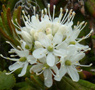 Common Labrador tea