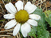 Common feverfew