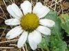 Chrysanthème matricaire