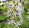Heart-leaved foamflower