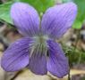 Violette commune
