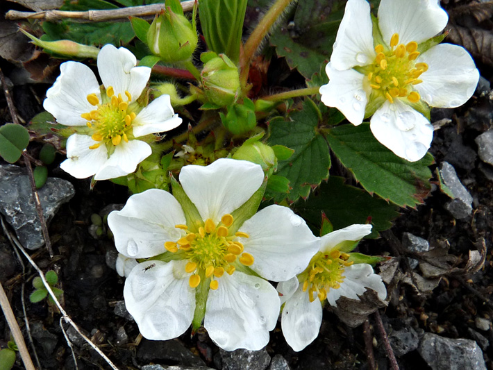 Wild strawberry (Fragaria virginiana) : Inflorescence